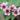 leptospermum – apulia plants