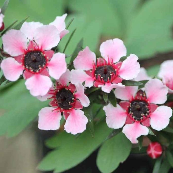 eptospermum - apulia plants
