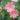 lewisia – apulia plants