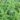 lippia-citrodora – apulia plants