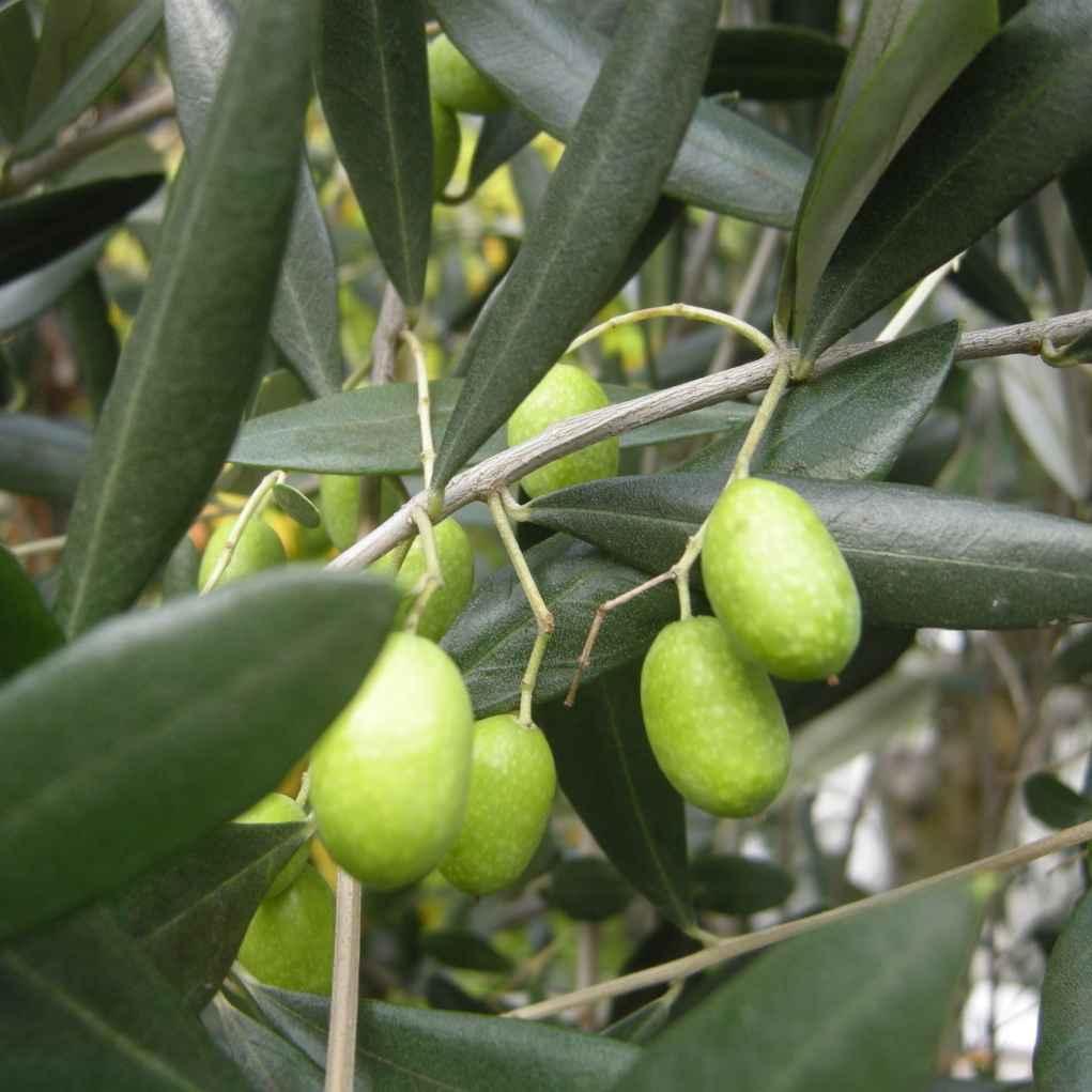 olea europaea - apulia plants
