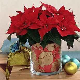 Poinsettia - Apulia Plants