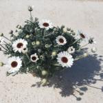 Rhodanthemum_apulia plants
